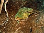 Kakapo eating a leaf